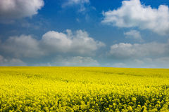 Agriculture Field With Oilseed Royalty Free Stock Photos