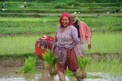 Agriculture, Field, Paddy Field, Rural Area royalty free stock image