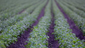 Agriculture field with potato during sunrise stock video footage