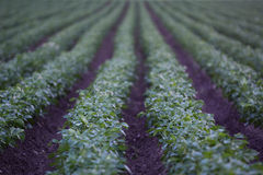 Agriculture field with potato during sunrise Royalty Free Stock Photography