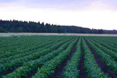 Agriculture field with potato during sunrise Royalty Free Stock Photos
