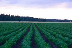 Agriculture field with potatoes during sunrise Stock Photos