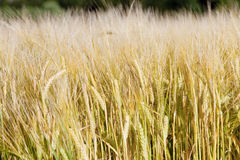 Agriculture - Field Of rye on sunny day Stock Photo