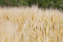 Agriculture - Field Of rye on sunny day Royalty Free Stock Image