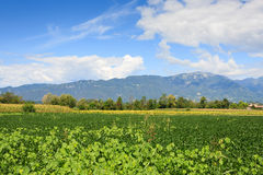 Agriculture, field of soybean Stock Photography