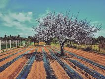 Agriculture field. Tomatoes plants, agriculture in the countryside Stock Images