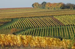 Agriculture, Field, Vineyard, Crop Royalty Free Stock Photography