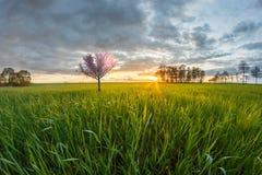 Morning awakening in the wheat culture with sakura tree stock photos