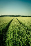 Agriculture field. Wheat field in vintage colors Stock Image