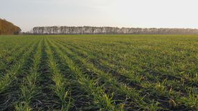 Agriculture. Field of winter wheat. A field with green shoots the camera moves along the shoots. Agriculture. Field of winter wheat with movement of the chamber stock video footage