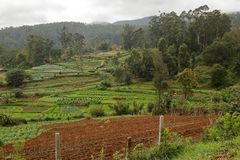 Agriculture and fields in Sri Lanka. The Agriculture and fields in Sri Lanka Royalty Free Stock Photography