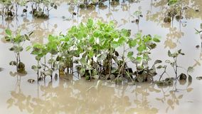 Agriculture, flooded soy field stock video footage