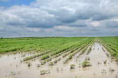 Agriculture, flooded soy field Stock Images