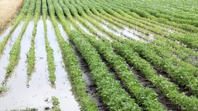 Agriculture, flooded soy field stock footage