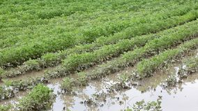 Agriculture, flooded soy field stock video