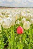 Agriculture - Flower bulbs - Tulips Stock Photos