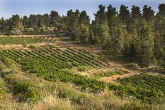 Agriculture in the Forest. A vineyard cultivated in the midst of a pine forest near Jerusalem, Israel Royalty Free Stock Image