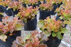 Agriculture fraîche de laitue de chêne rouge Fond végétal de feuille images libres de droits