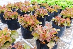 Agriculture fraîche de laitue de chêne rouge Fond végétal de feuille photo stock