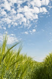 Agriculture fresh barley field. With blue sky Stock Images
