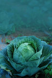 Agriculture fresh cabbage in Nontoxic farm. From rural of Thailand. And have some space for write wording stock photos