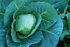 Agriculture fresh cabbage in Nontoxic farm. From rural of Thailand. And have some space for write wording stock image