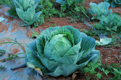 Agriculture fresh cabbage in Nontoxic farm. From rural of Thailand. And have some space for write wording stock images