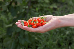 Agriculture, goji berry fruit Stock Image