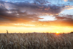Agriculture, golden field with wheat.  Stock Photos