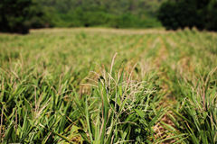 Agriculture, green corn field Stock Photo