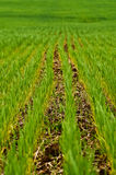 Agriculture Green Crop Rows Royalty Free Stock Image