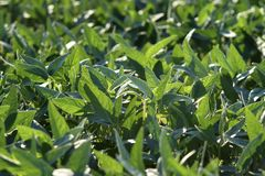 Green cultivated soybean field in late spring stock image