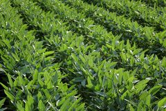 Green cultivated soybean plants in field stock images