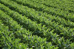 Green cultivated soybean plants in field stock image