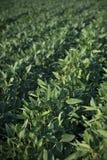 Green soybean plants in field royalty free stock photo