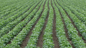Agriculture, green cultivated soybean field stock footage