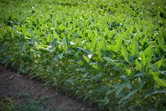 Green cultivated soybean field in late spring royalty free stock image