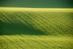 Agriculture, green field. A green  field in the evening light Stock Photos