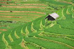 Agriculture Green Rice fields and rice terraced on mountain Royalty Free Stock Photography