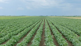 Agriculture, green soybean field stock video footage