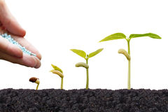 Agriculture. Growing plants. Plant seedling. Hand nurturing and giving chemical fertilizers to young baby plants growing in germination sequence on fertile on Royalty Free Stock Photo