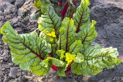 Agriculture, growing vegetables in the garden and harvest. Vegetarian food. Beetroot plant vitamin fresh leaf lettuce chard on th. E bed royalty free stock images