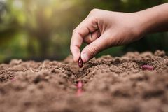 Agriculture hand planting seeds red beans. In soil royalty free stock photo