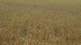 Agriculture harvest time: Flax field at July stock video footage