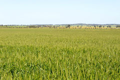 Agriculture. A healthy maturing cereal crop growing in rural field with trees hill and sky in background Stock Photo