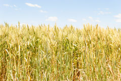Agriculture. A healthy ripening wheat crop with clouds in sky Stock Photos