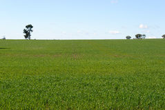 Agriculture. Healthy young cereal crop growing in a paddock on a sunny day Stock Images