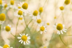 Free Agriculture Herb Chamomile, Yellow Plant Background Royalty Free Stock Photography - 149272427