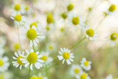 Agriculture herb chamomile, yellow plant background. Alternative medicine royalty free stock photo