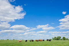 Agriculture: Herd of Cows Under a Big Blue Sky Stock Images